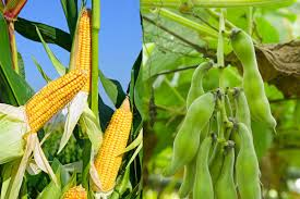 Corn and Soy are normally GMO